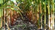 Mimo pogody światowe zbiory kukurydzy z szansą na rekord
