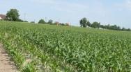 Cynk w uprawie kukurydzy